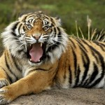 tigre-di-sumatra